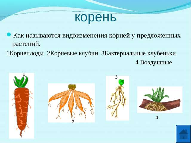 корень Как называются видоизменения корней у предложенных растений. 1Корнепло...