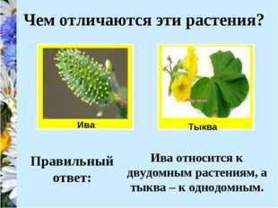 Ива Чем отличаются эти растения? Тыква Правильный ответ: Ива относится к двуд
