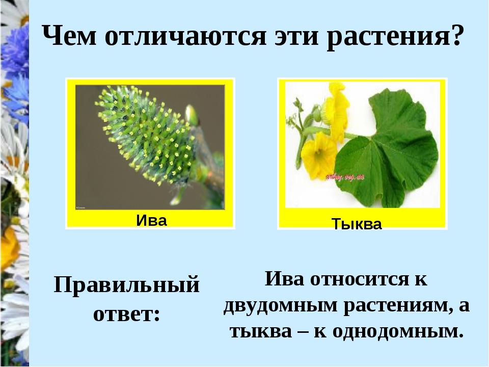 Ива Чем отличаются эти растения? Тыква Правильный ответ: Ива относится к двуд...