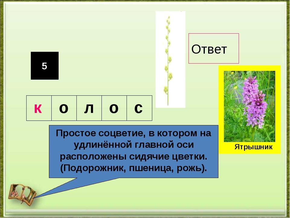 5 Простое соцветие, в котором на удлинённой главной оси расположены сидячие ц...