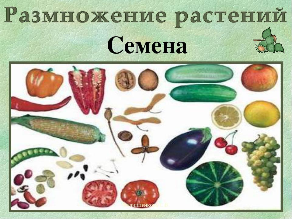 Филиппенкова С.В. Семена Филиппенкова С.В.