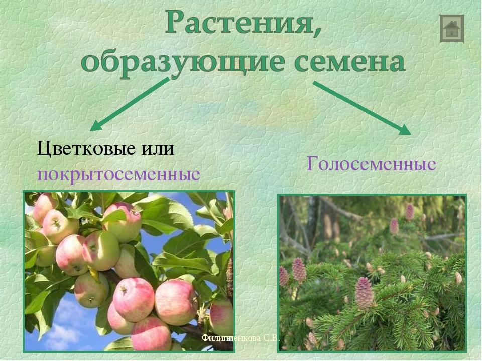 Цветковые или покрытосеменные Голосеменные Филиппенкова С.В. Филиппенкова С.В.