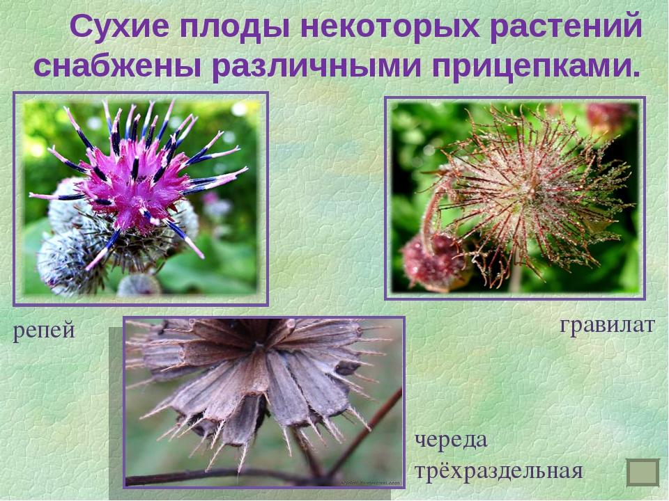 Сухие плоды некоторых растений снабжены различными прицепками. репей гравила...