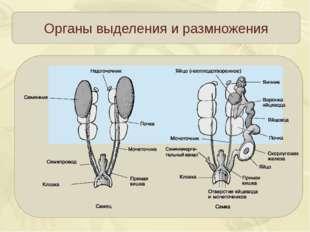 Органы выделения и размножения