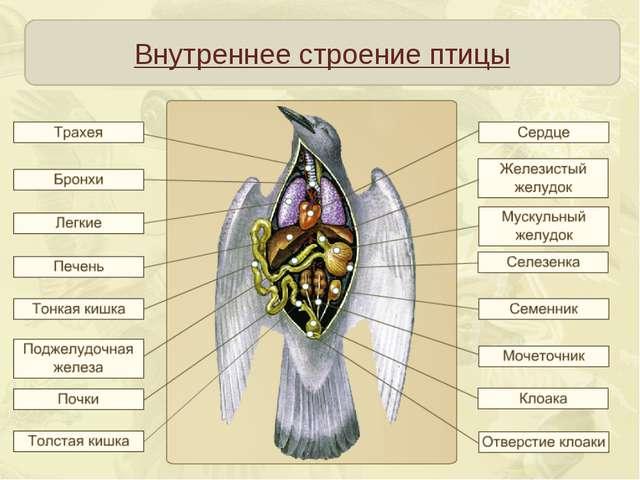 Внутреннее строение птицы