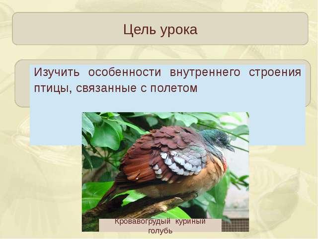 Цель урока Кровавогрудый куриный голубь Изучить особенности внутреннего стро...