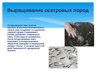 Выращивание осетровых пород Оплодотворяют икру осетров вручную. В обычных эма