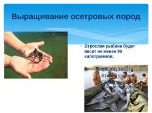 Выращивание осетровых пород Взрослая рыбина будет весит не менее 90 килограмм