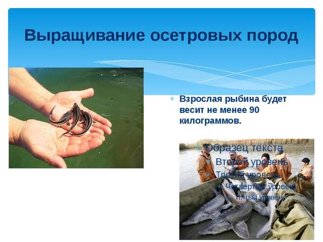 Выращивание осетровых пород Взрослая рыбина будет весит не менее 90 килограмм...