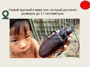 Самый крупный в мире жук, который достигает размеров до 17 сантиметров.