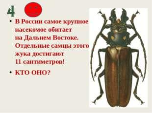 В России самое крупное насекомое обитает наДальнем Востоке. Отдельные самцы