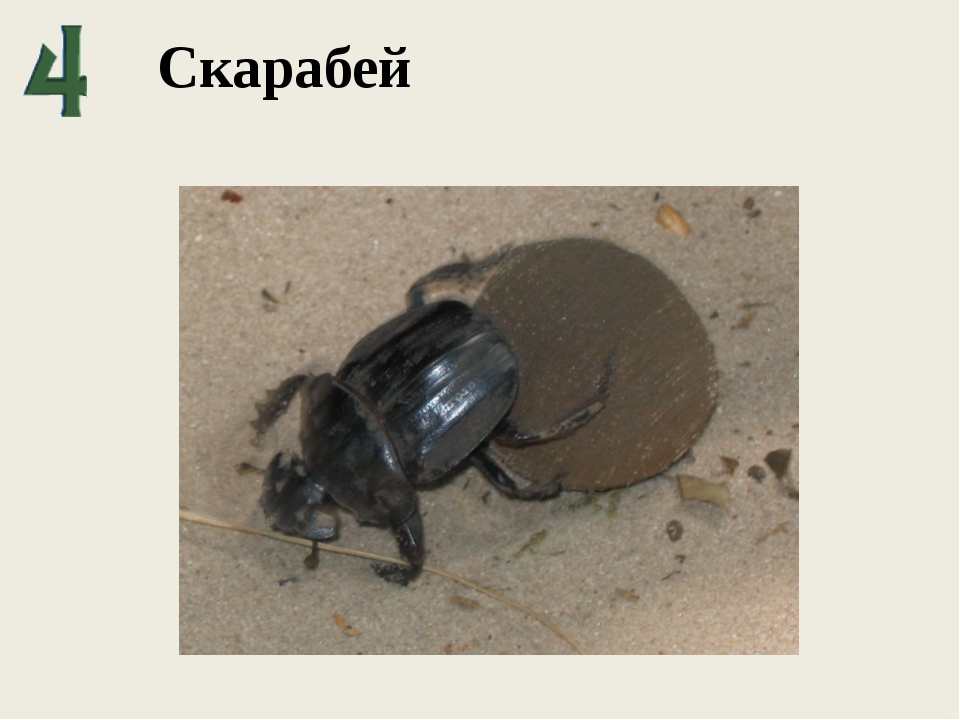 Скарабей