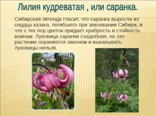Сибирская легенда гласит, что саранка выросла из сердца казака, погибшего пр