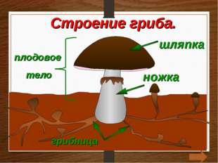 шляпка грибница плодовое тело ножка Строение гриба.
