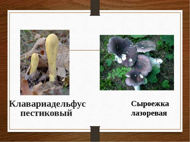 Клавариадельфус пестиковый Сыроежка лазоревая