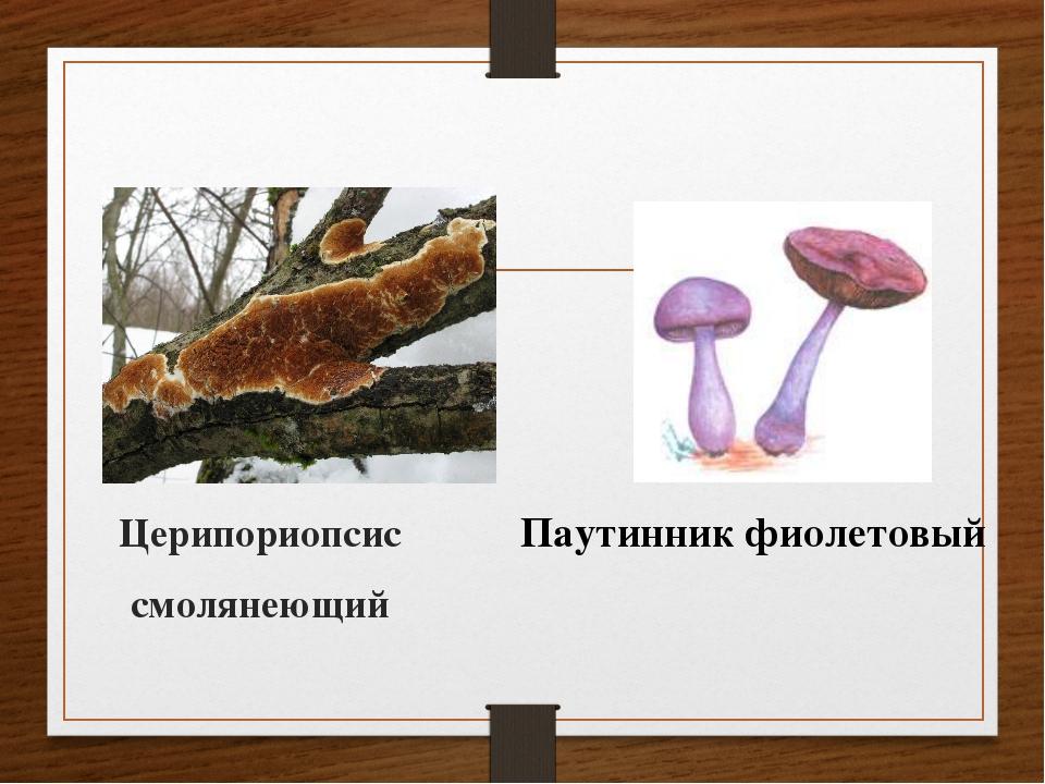 Церипориопсис смолянеющий Паутинник фиолетовый