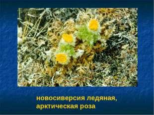 новосиверсия ледяная, арктическая роза Новосиверсия ледяная, арктическая роза.