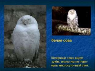 белая сова Полярные совы видят днём, иначе им не пере- жить многосуточный све