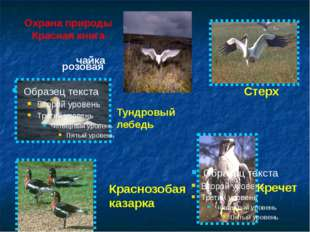 Охрана природы Красная книга розовая чайка Тундровый лебедь Краснозобая казар