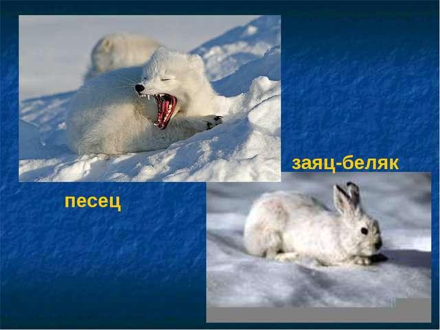 песец заяц-беляк Волк. Заяц-беляк.
