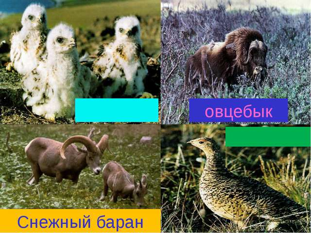 овцебык Снежный баран совята куропатка