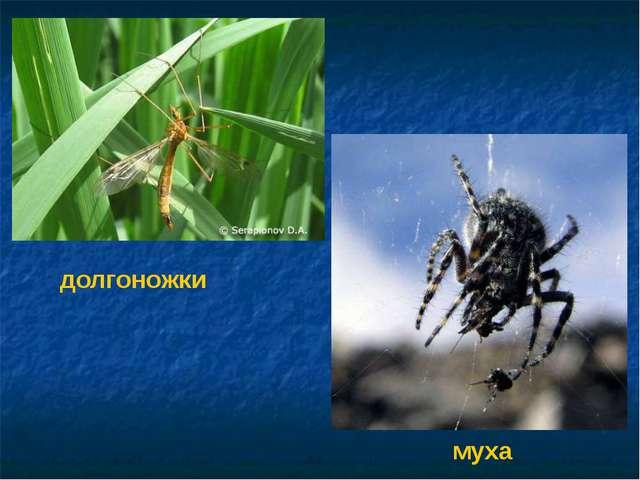 долгоножки муха Долгоножки. Муха.