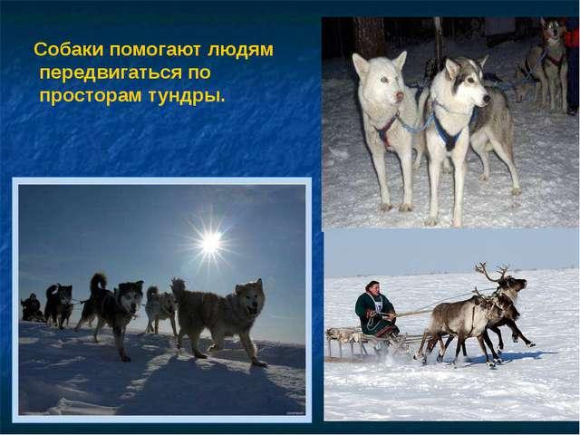 Собаки помогают людям передвигаться по просторам тундры.