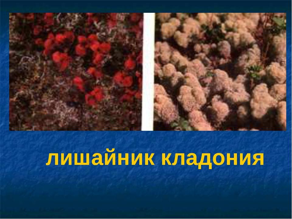 лишайник кладония Арктическая красная толокнянка. Справа — лишайник кладония.