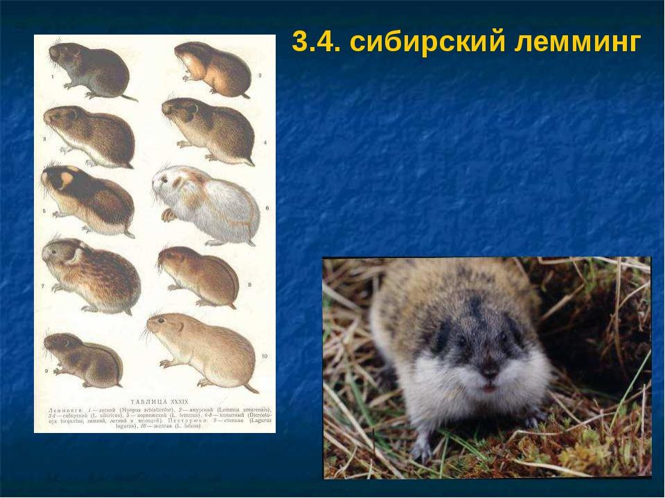 3.4. сибирский лемминг 3.4. Сибирский лемминг.