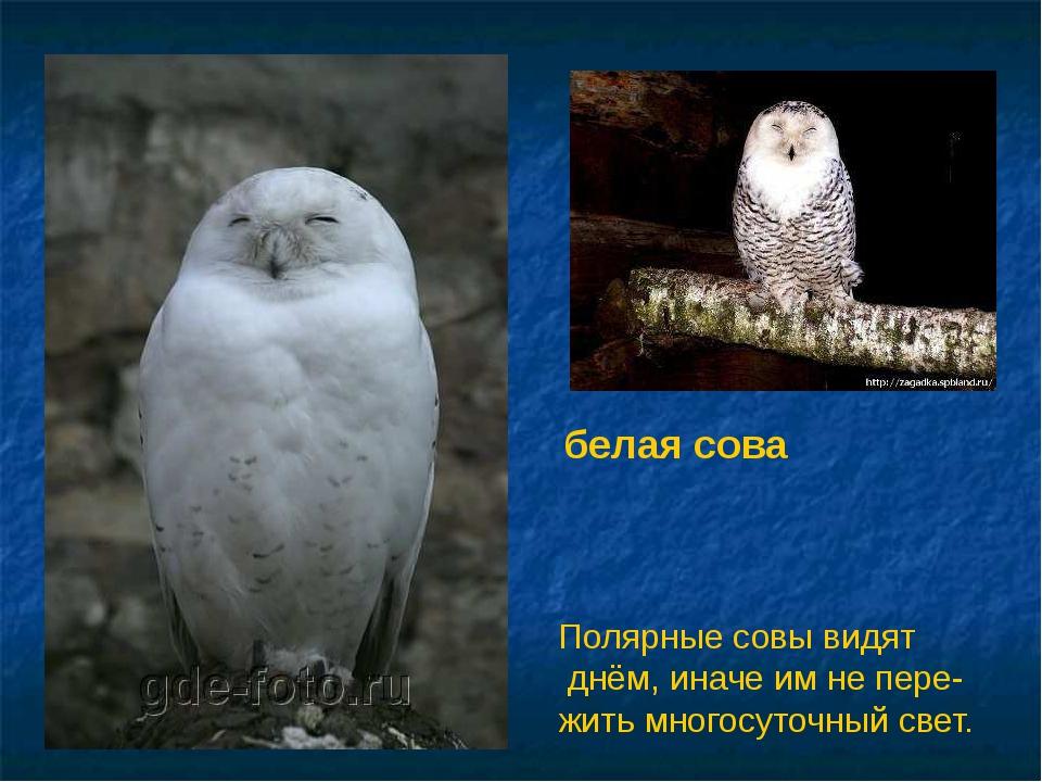 белая сова Полярные совы видят днём, иначе им не пере- жить многосуточный све...