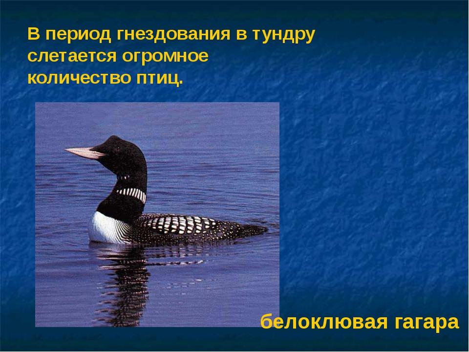В период гнездования в тундру слетается огромное количество птиц. белоклювая...