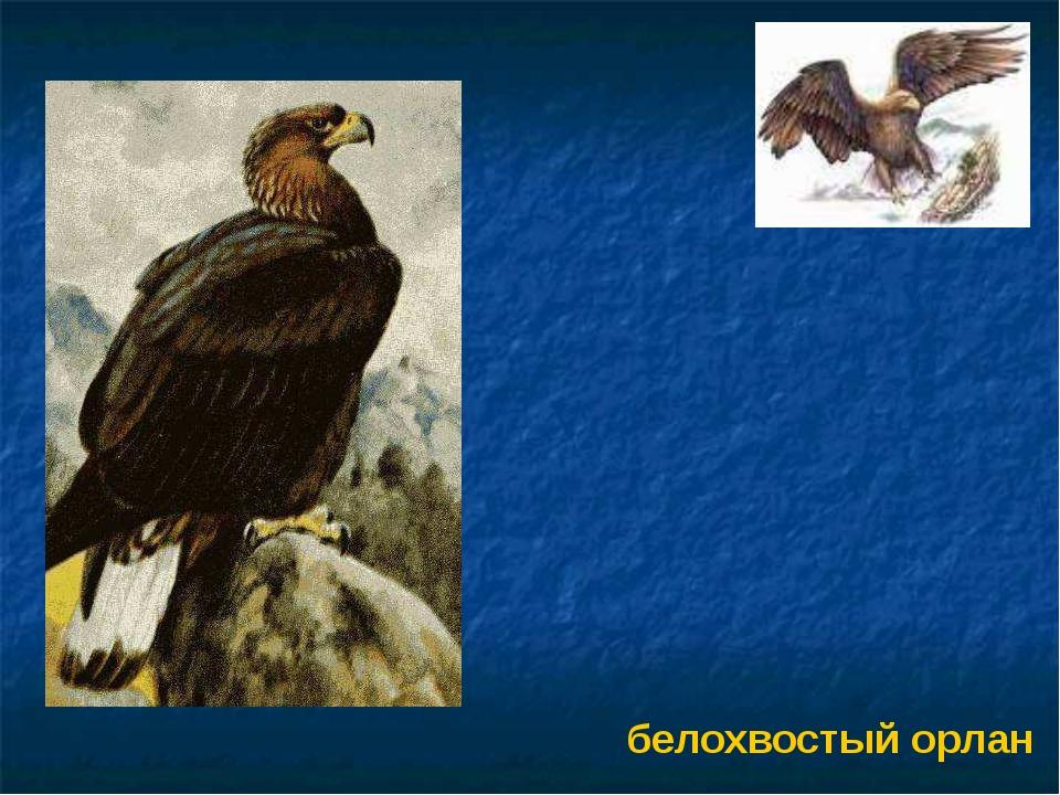 белохвостый орлан Белохвостый орлан.