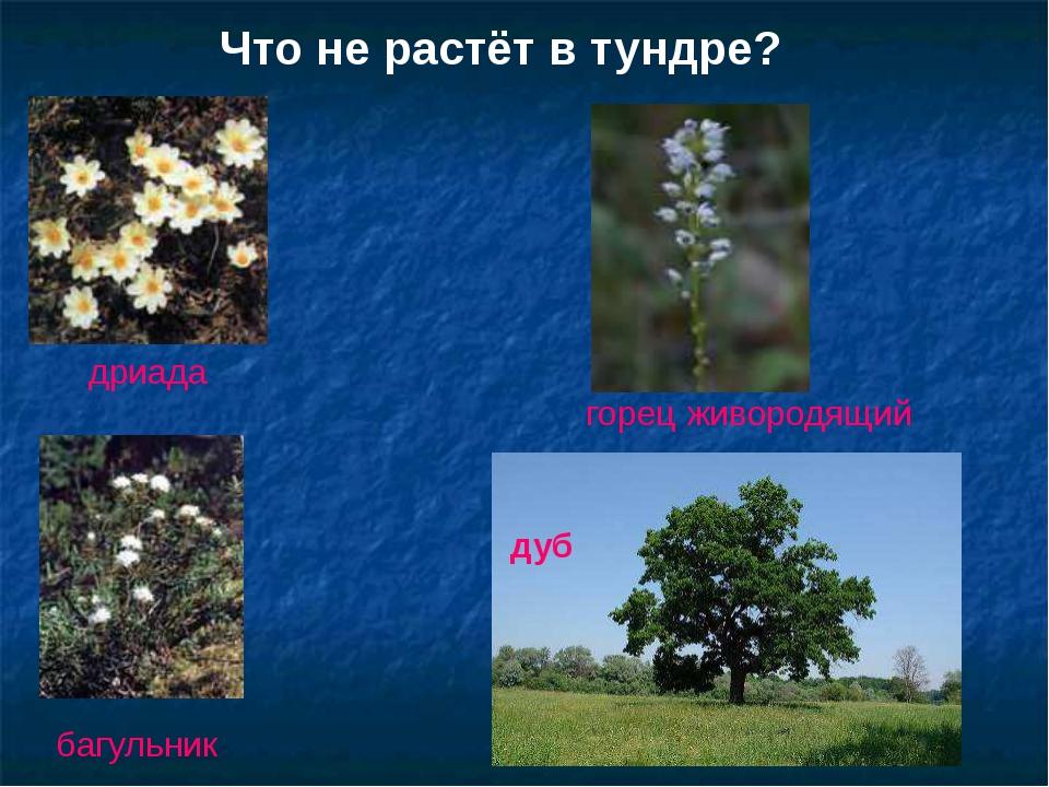 Что не растёт в тундре? дриада багульник горец живородящий дуб Что не растёт...