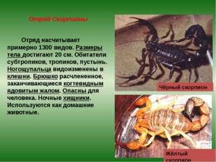 Отряд Скорпионы Отряд насчитывает примерно 1300 видов. Размеры тела достигают
