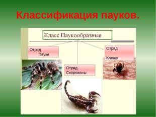 Классификация пауков. Отряд Пауки Отряд Скорпионы Отряд Клещи