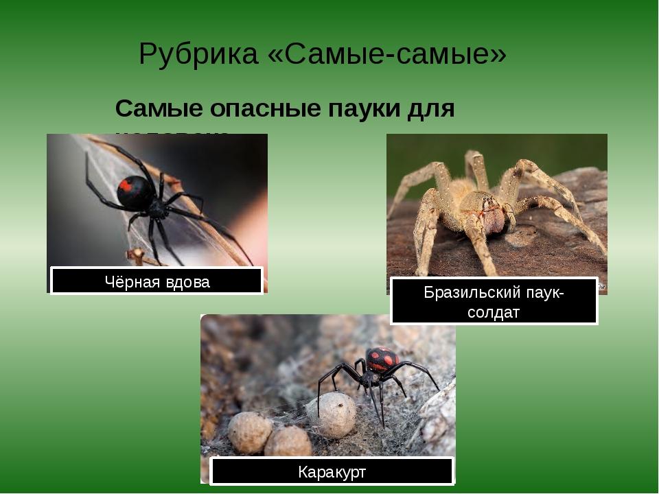 Рубрика «Самые-самые» Самые опасные пауки для человека. Чёрная вдова Бразильс...