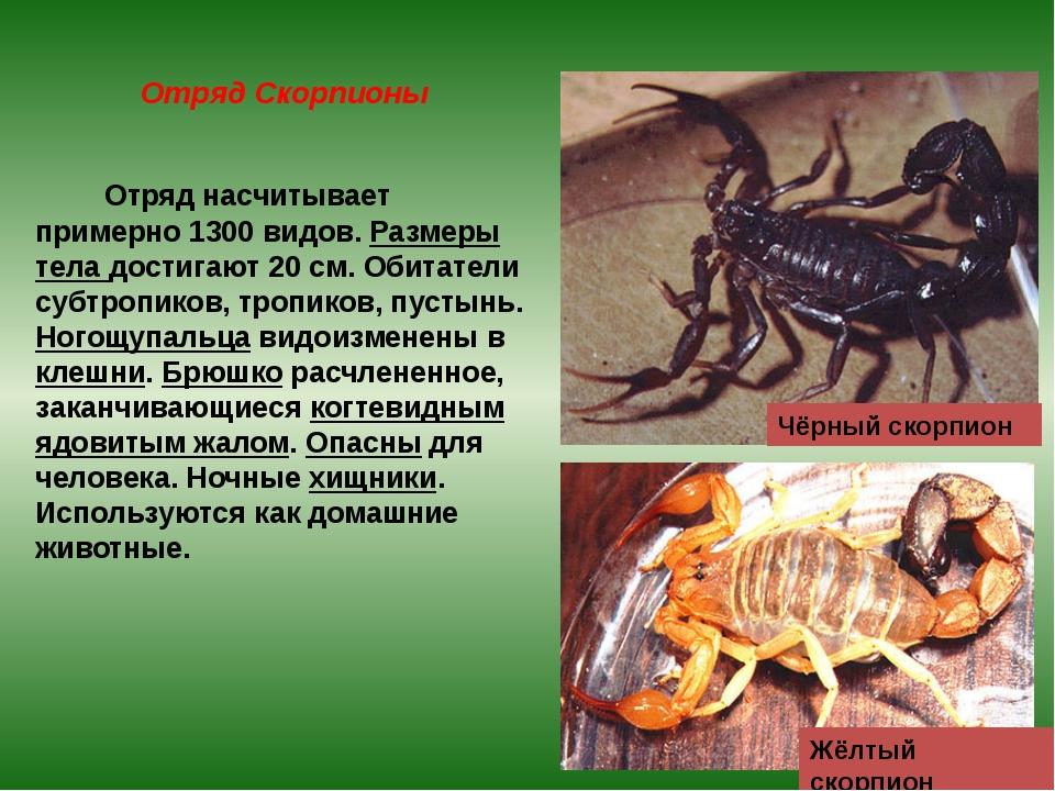 Отряд Скорпионы Отряд насчитывает примерно 1300 видов. Размеры тела достигают...