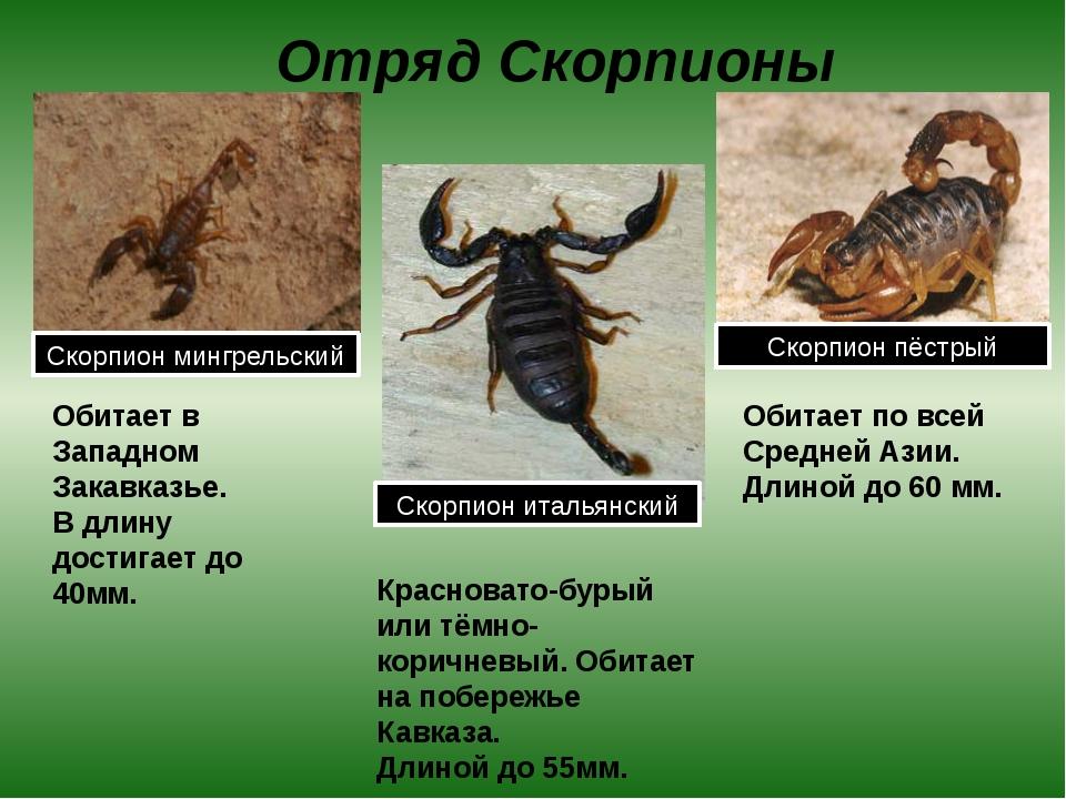 Отряд Скорпионы Обитает в Западном Закавказье. В длину достигает до 40мм. Кра...