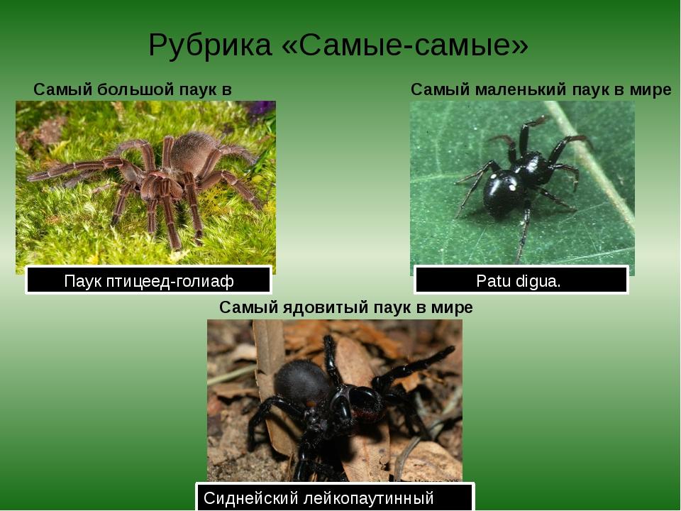 Рубрика «Самые-самые» Самый большой паук в мире Паук птицеед-голиаф Самый мал...