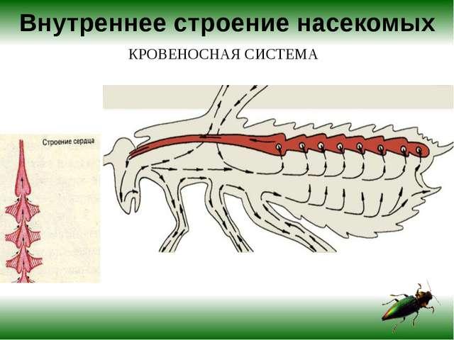 Внутреннее строение насекомых КРОВЕНОСНАЯ СИСТЕМА