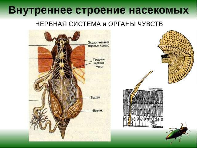 Внутреннее строение насекомых НЕРВНАЯ СИСТЕМА и ОРГАНЫ ЧУВСТВ