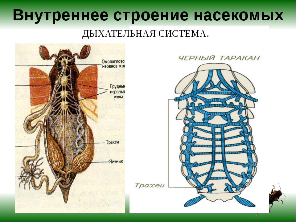 Внутреннее строение насекомых ДЫХАТЕЛЬНАЯ СИСТЕМА.