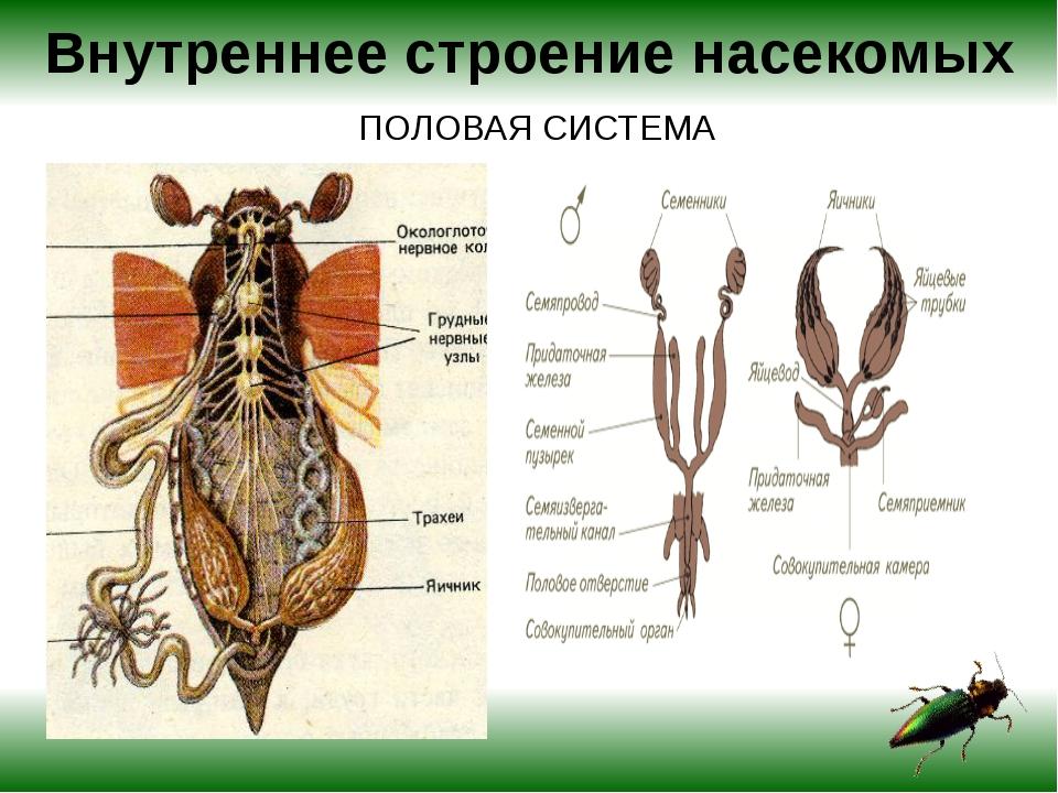 Внутреннее строение насекомых ПОЛОВАЯ СИСТЕМА