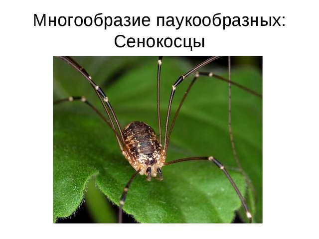 Многообразие паукообразных: Сенокосцы