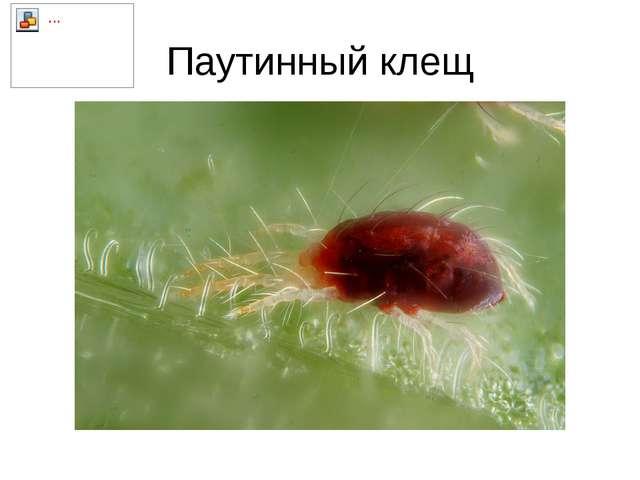 Паутинный клещ