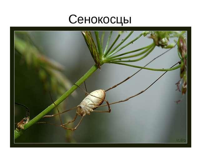 Сенокосцы
