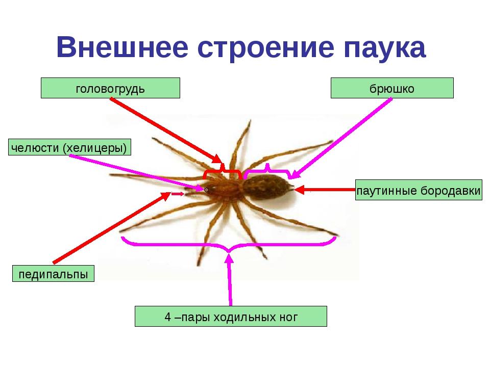 Внешнее строение паука головогрудь педипальпы 4 –пары ходильных ног брюшко па...