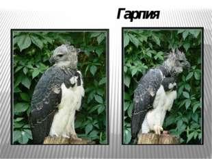 Гарпия
