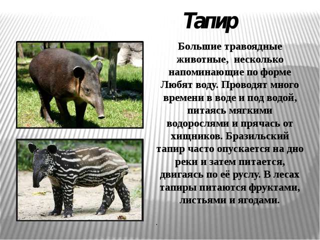 Тапир Большие травоядные животные, несколько напоминающие по форме Любят воду...