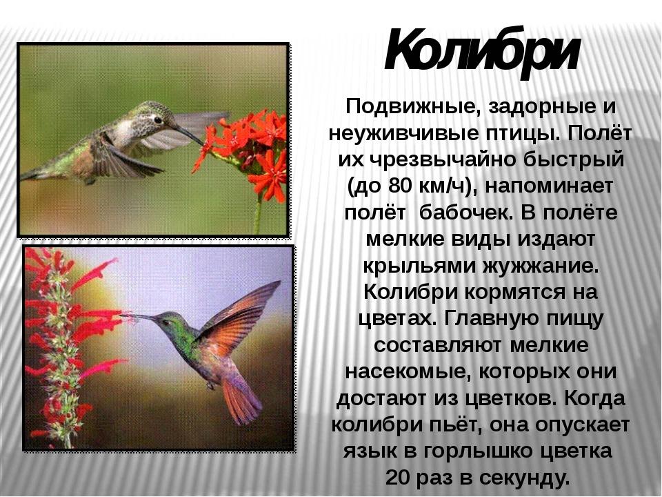 Подвижные, задорные и неуживчивые птицы. Полёт их чрезвычайно быстрый (до 80...